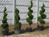 Tuje i inne drzewa ozdobne - szkółka Betula