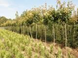 Drzewa alejowe dla zieleni miejskiej - szkółka Betula Bielsko-Biała